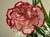 Horoscop Floral Garoafa